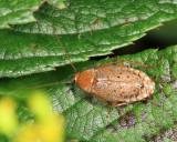 Dusky Cockroach - Ectobius lapponicus