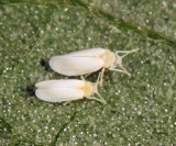 Whiteflies - Aleyrodidae
