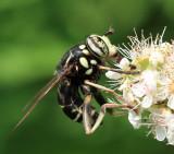 Spilomyia fusca