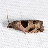 3203 - Brighton's Epiblema Moth - Epiblema brightonana