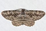 6590 - Common Gray - Anavitrinella pampinaria