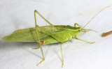 Northern Bush Katydid - Scudderia septentrionalis (male)