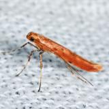 0633 – Sassafras Caloptilia Moth – Caloptilia sassafrasella