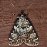 8878.1 - Little Lined Underwing - Catocala lineella