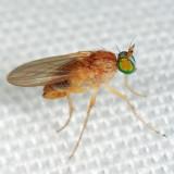 Gymnopternus flavus