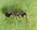 Acorn Ant - Temnothorax longispinosus