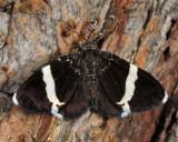 7430 - White-striped Black - Trichodezia albovittata