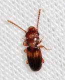 Laemophloeus megacephalus