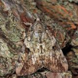 8876 - Little Underwing - Catocala micronympha