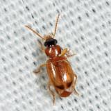 Ground Beetles - Tribe Perigonini