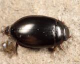 Ilybius sp.