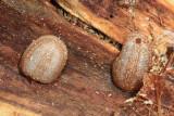 Microdon sp. (larvae)