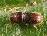 Pseudopityophthorus minutissimus (female)