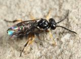 Caliroa sp.