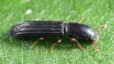 Colydium lineola
