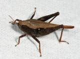 Black-sided Pygmy Grasshopper - Tettigidea lateralis