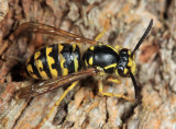 Common Aerial Yellowjacket - Dolichovespula arenaria