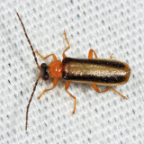 Rhagonycha longula