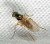 Gymnopternus opacus