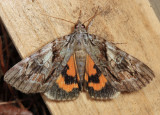 8863 - Wonderful Underwing - Catocala mira