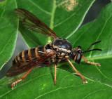 Ceraturgus fasciatus