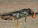 Dog-day Cicada - Tibicen canicularis