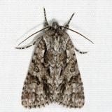 9261 - Impressed Dagger Moth - Acronicta impressa