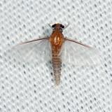 Small Squaregilled Mayflies - Caenidae - Caenis sp.