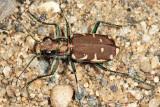 Appalachian Tiger Beetle - Cicindela ancocisconensis