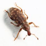Listronotus sparsus