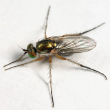 Dolichopus sicarius