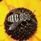 Triepeolus sp.