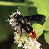 Scoliid Wasps - Scoliidae