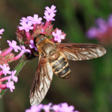 Bee flies -  Bombyliidae