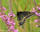 Black Swallowtail - Papilio polyxenes (female)