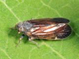 Oliarus cinnamomeus