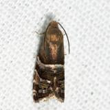 3485 - Cydia erotella
