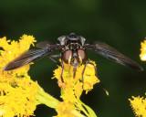 Trichopoda lanipes