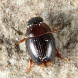Cercyon sp.