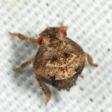 Acanalonia bivittata (nymph)
