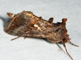 8908 - Common Looper Moth - Autographa precationis