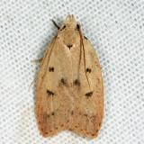 0951 - Gold-striped Leaftier - Machimia tentoriferella