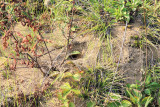 Formica pallidefulva (mound)