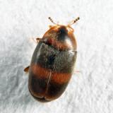 Clypastraea fasciata