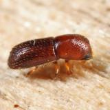Xyleborus affinis