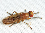 Tetanocera ferruginea