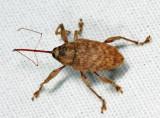 Large Chestnut Weevil - Curculio proboscideus