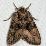 9419 – Adorable Brocade Moth – Platypolia mactata