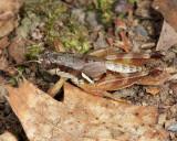 Smith's Short-wing Grasshopper - Melanoplus mancus