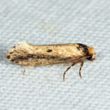 0392 - Tinea apicimaculella